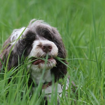 Photo of dog eating grass