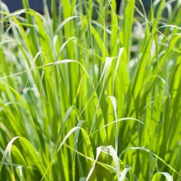 Does Lemongrass Repel Mosquitoes? Article image
