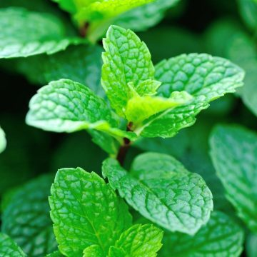 Can dogs eat mint? Photo of mint plant for article