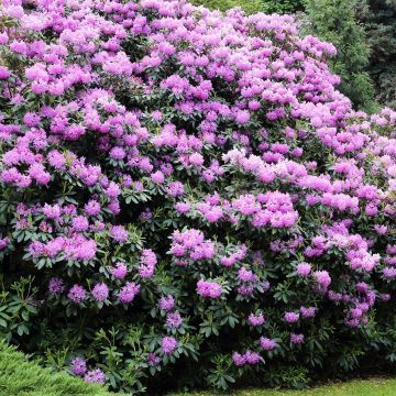 photo of rhododendron bush